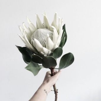 Protea Flower 2