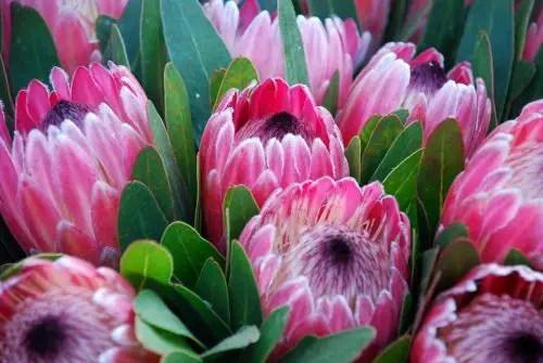 Protea Flower 26