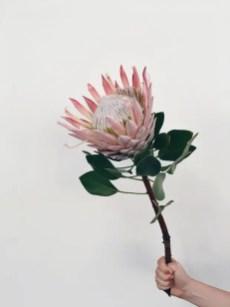Protea Flower 3