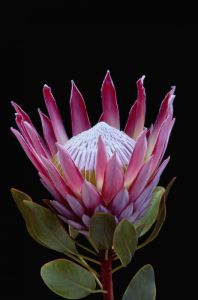 Protea Flower 30