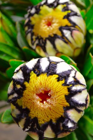 Protea Flower 32
