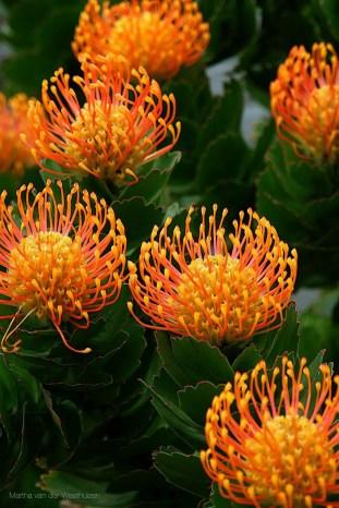 Protea Flower 33