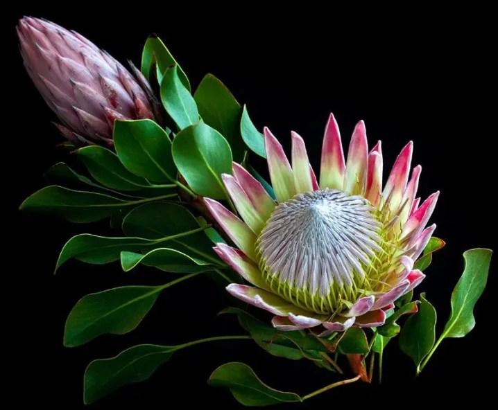 Protea Flower 37