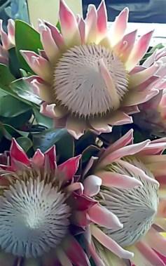 Protea Flower 46