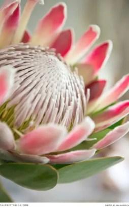 Protea Flower 6