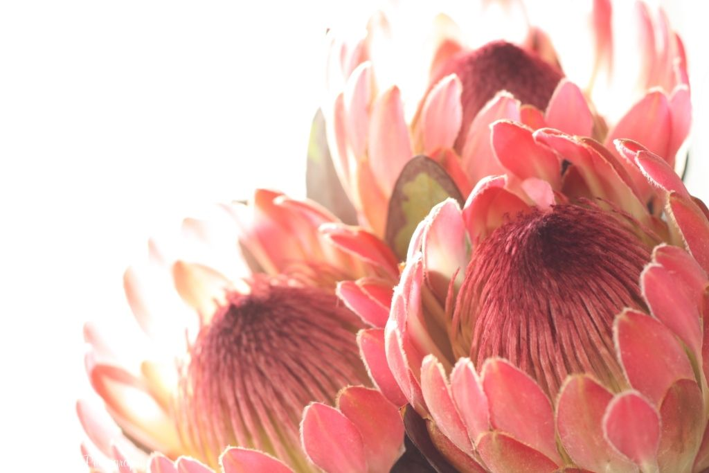 Protea Flower 75