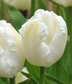 White Tulips 12