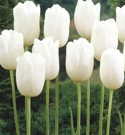 White Tulips 23