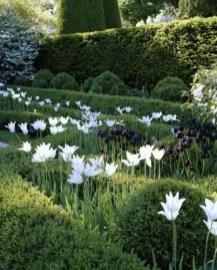 White Tulips 3