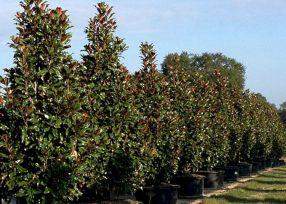 A Gorgeous Little Gem Magnolia Tree