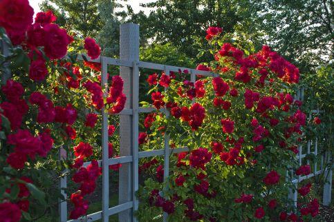 Beautiful Red Rose Garden