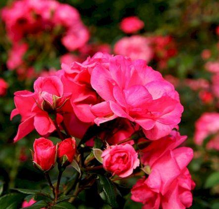 Garden Rose Varieties