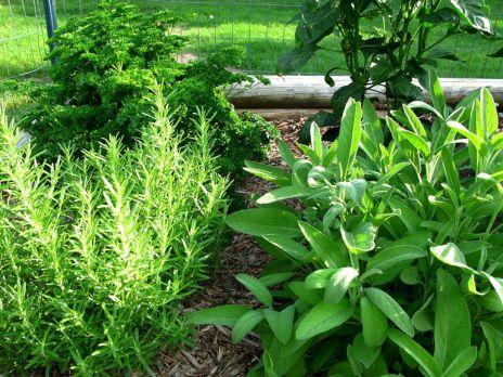 Growing an Herb Garden