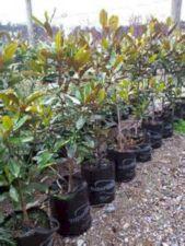 Little Gem Evergreen Magnolia Tre