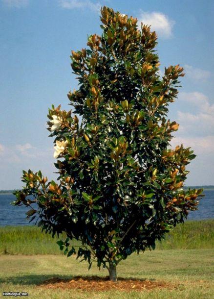 Little Gem Southerns Magnolia Tree