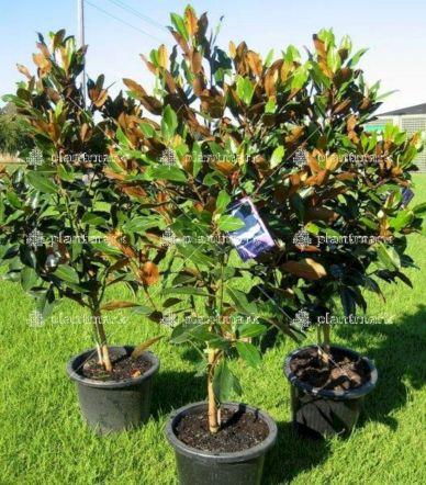 Magnolia Tree Little Gem Ideas