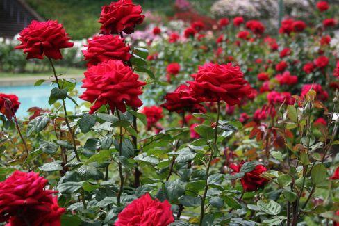 Red Rose Gardens