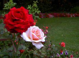 Rose Flower Gardens Ideas