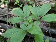 Ginseng Plants Identification