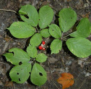 Illinois Wild Ginseng Plants