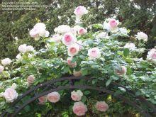 Climbing Eden Rose Climber