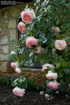 Eden Climbing Rose Designs