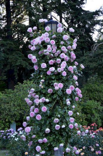 Eden Climbing Roses Ideas
