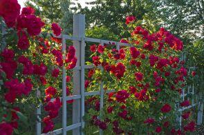 Red Rose Flower Garden