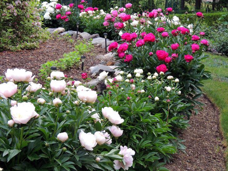Peony Garden Design
