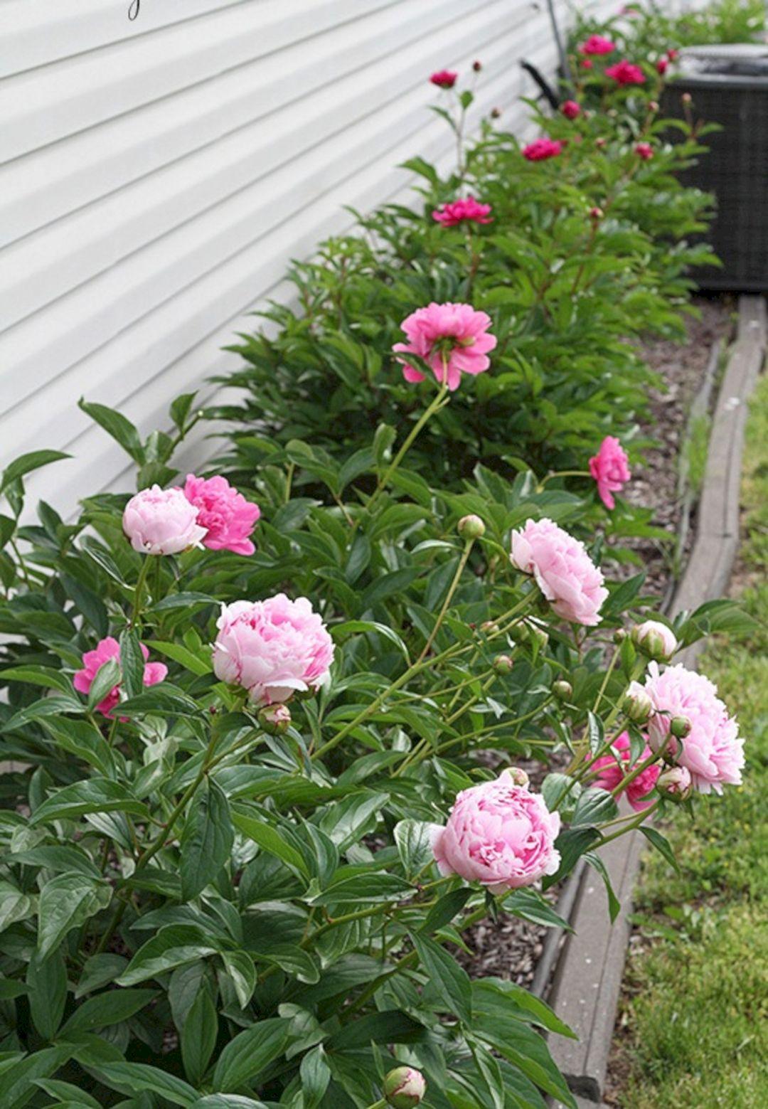 Pink Peonies Garden