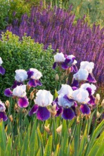 Beautiful Iris Garden Ideas 21