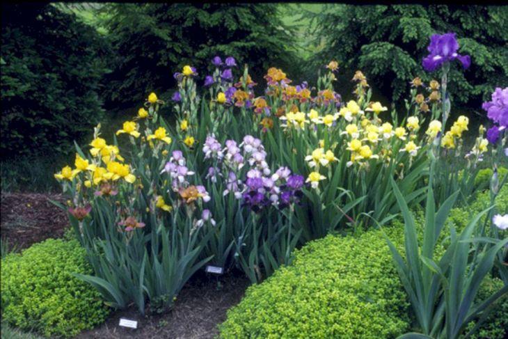 Beautiful Iris Garden Ideas 26