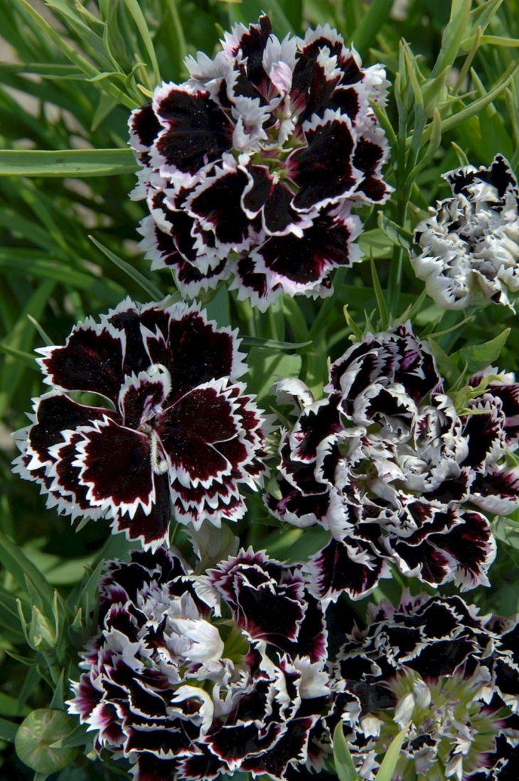 Black Flower Garden Ideas 22