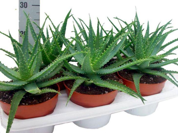Succulent Aloe Vera 2