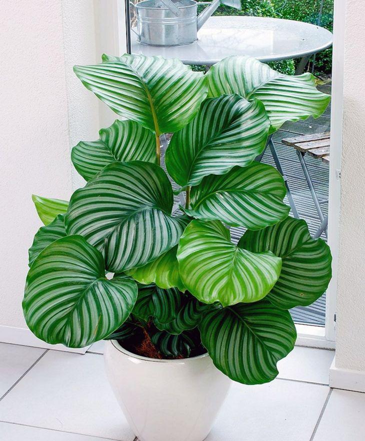 Calathea Orbifolia for Kitchen Plants