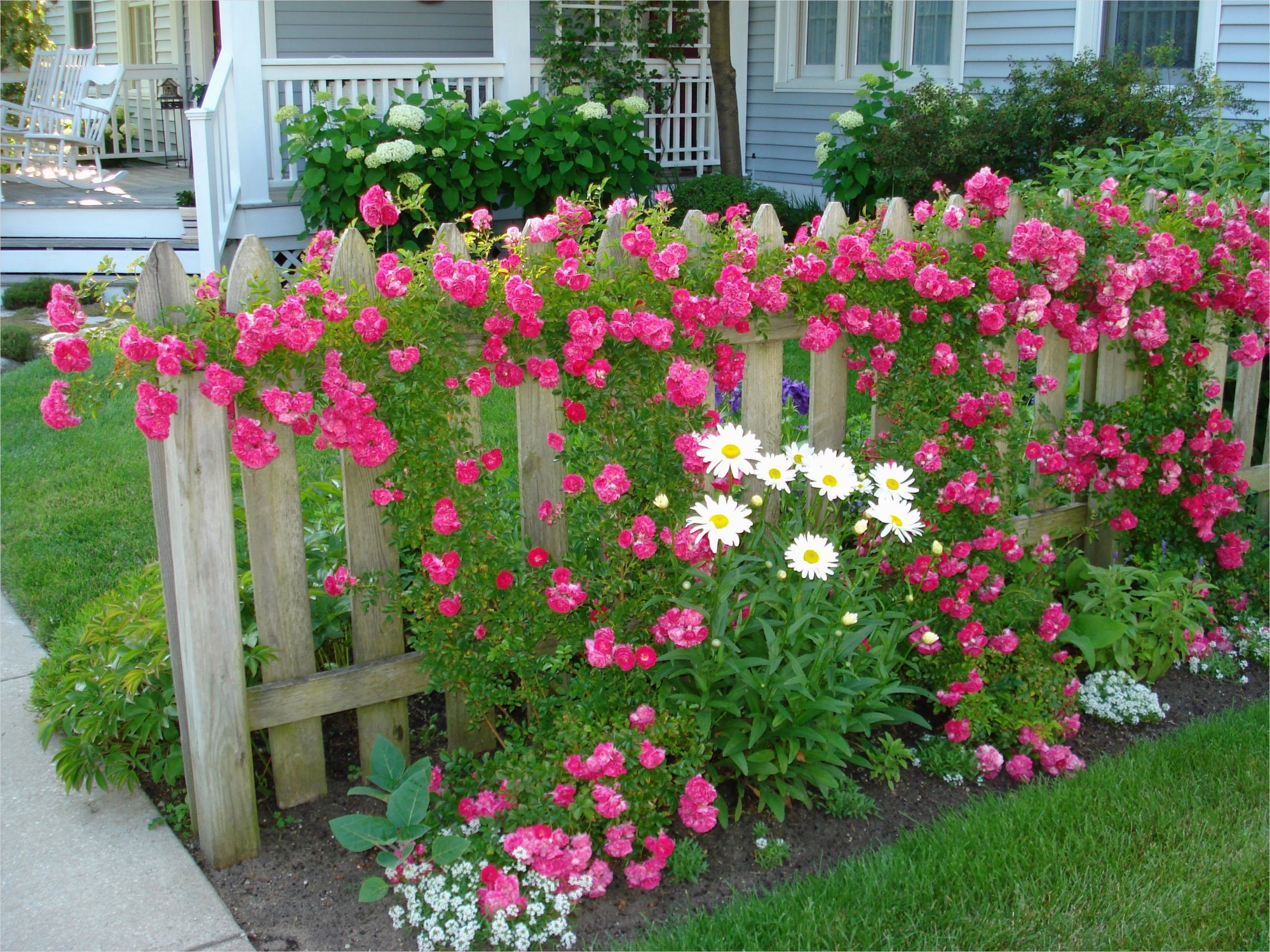 40 Best and Beautiful Climbing Flowers for Fences 37 Climbing Roses On Board Fence Brought to You by Cookies In Bloom and Hannah S Caramel Apples 5