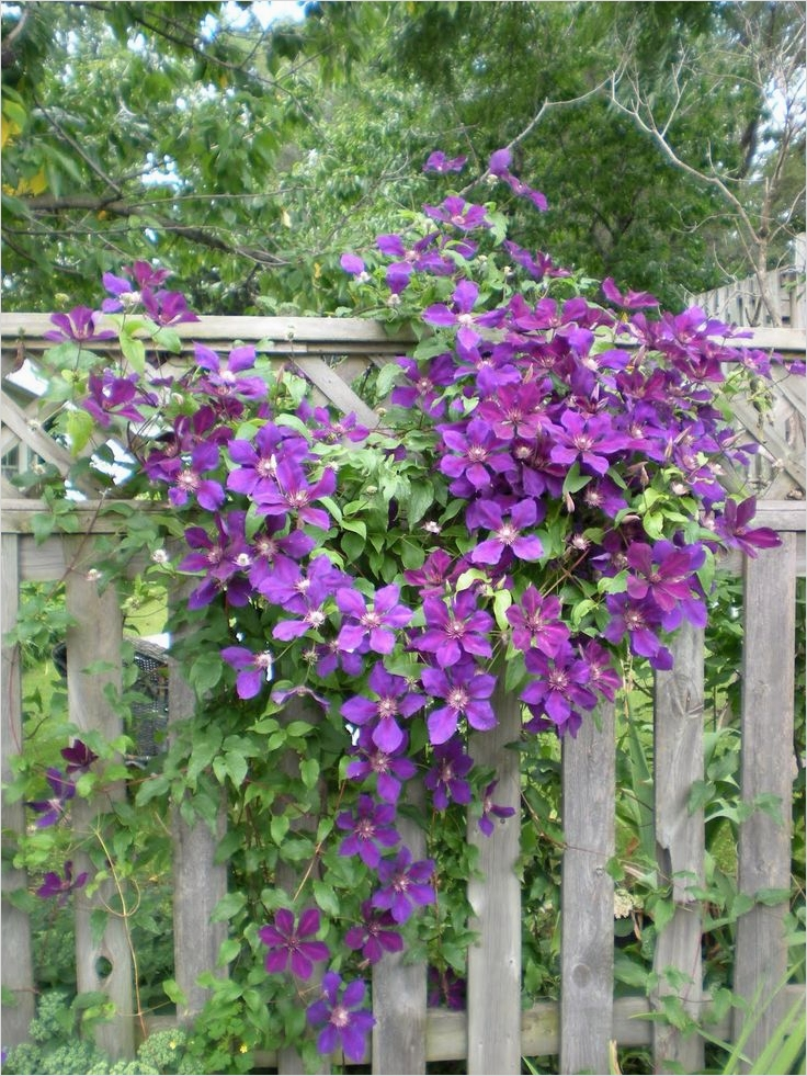 40 Best and Beautiful Climbing Flowers for Fences 75 382 Best Images About Flowering Fences On Pinterest 6