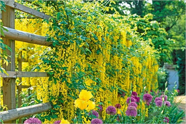 40 Best and Beautiful Climbing Flowers for Fences 38 Climbing Plants & Living Fence Ideas Coffee Break Time 1