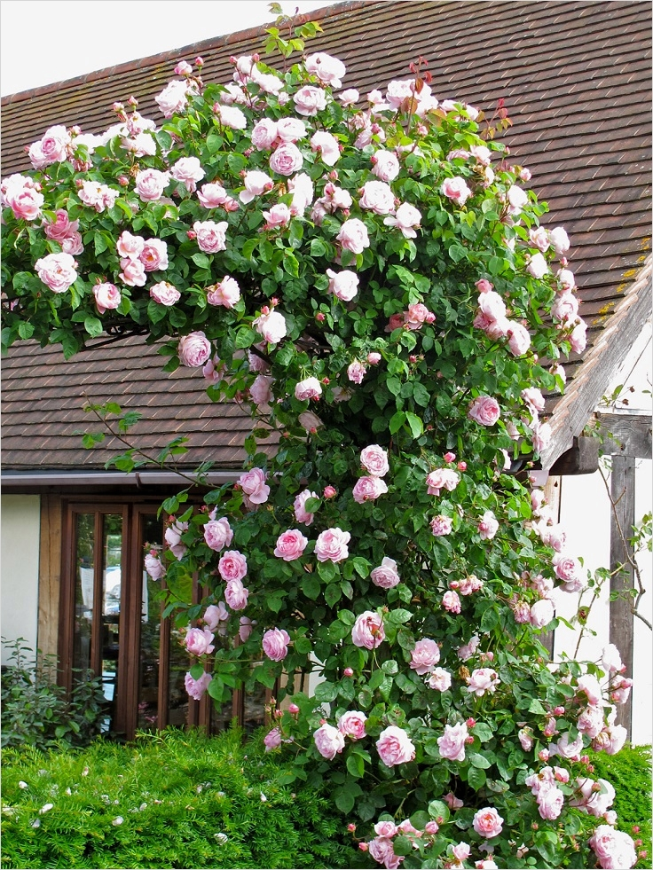 40 Best and Beautiful Climbing Flowers for Fences 28 top 10 Beautiful Climbing Plants for Fences and Walls top Inspired 5