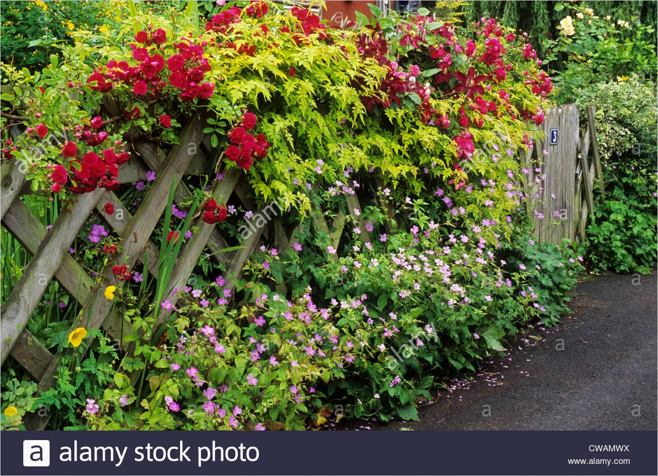 40 Best and Beautiful Climbing Flowers for Fences 22 Trellis with Climbing Roses Front Garden Picket Fence Red Rose Stock Royalty Free Image 3