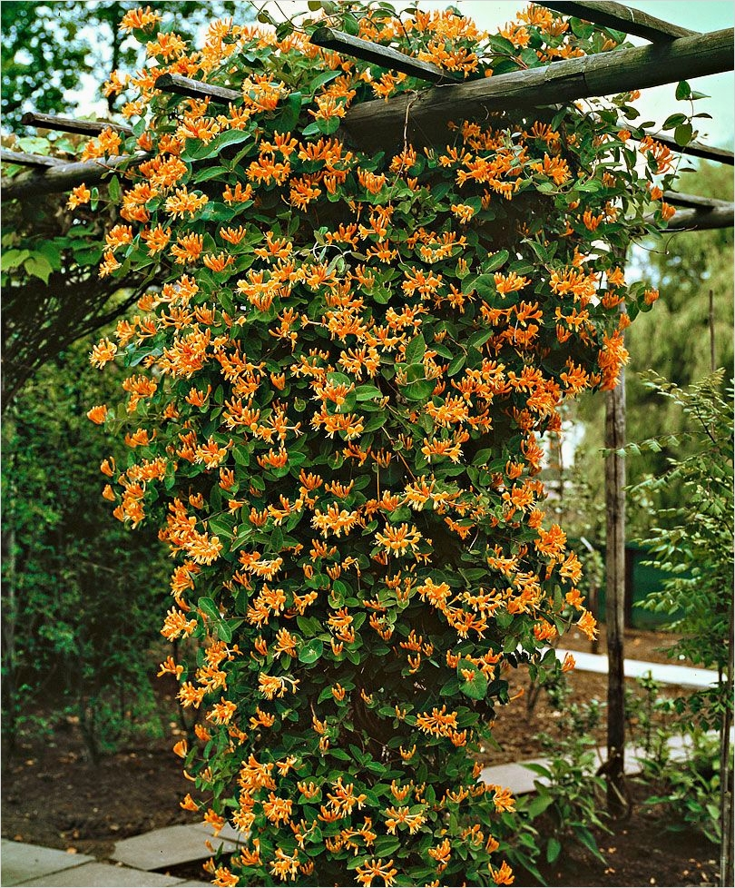 40 Best and Beautiful Climbing Flowers for Fences 86 Honeysuckle Goldflame Honeysuckle Goldflame Lonicera X Heckrottii Goldflame is A Strong 6