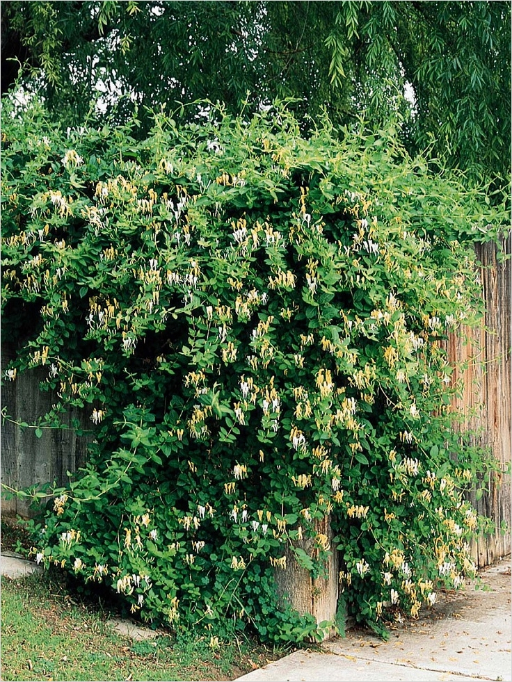 40 Best and Beautiful Climbing Flowers for Fences 72 top 10 Beautiful Climbing Plants for Fences and Walls 9