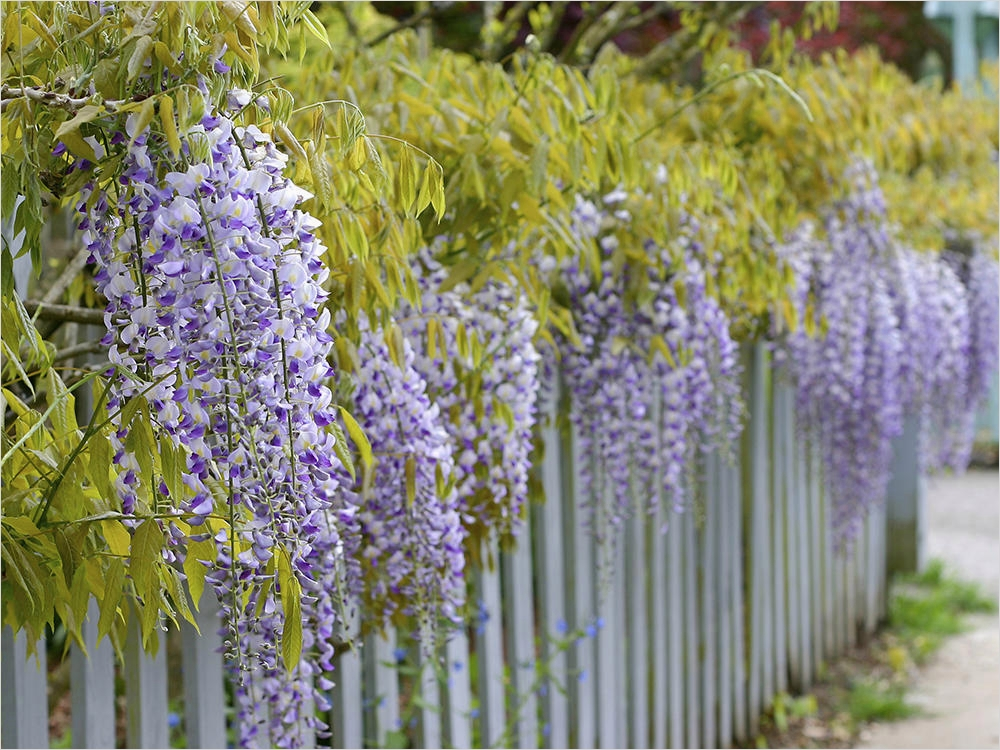 40 Best and Beautiful Climbing Flowers for Fences 78 top 10 Beautiful Climbing Plants for Fences and Walls 2