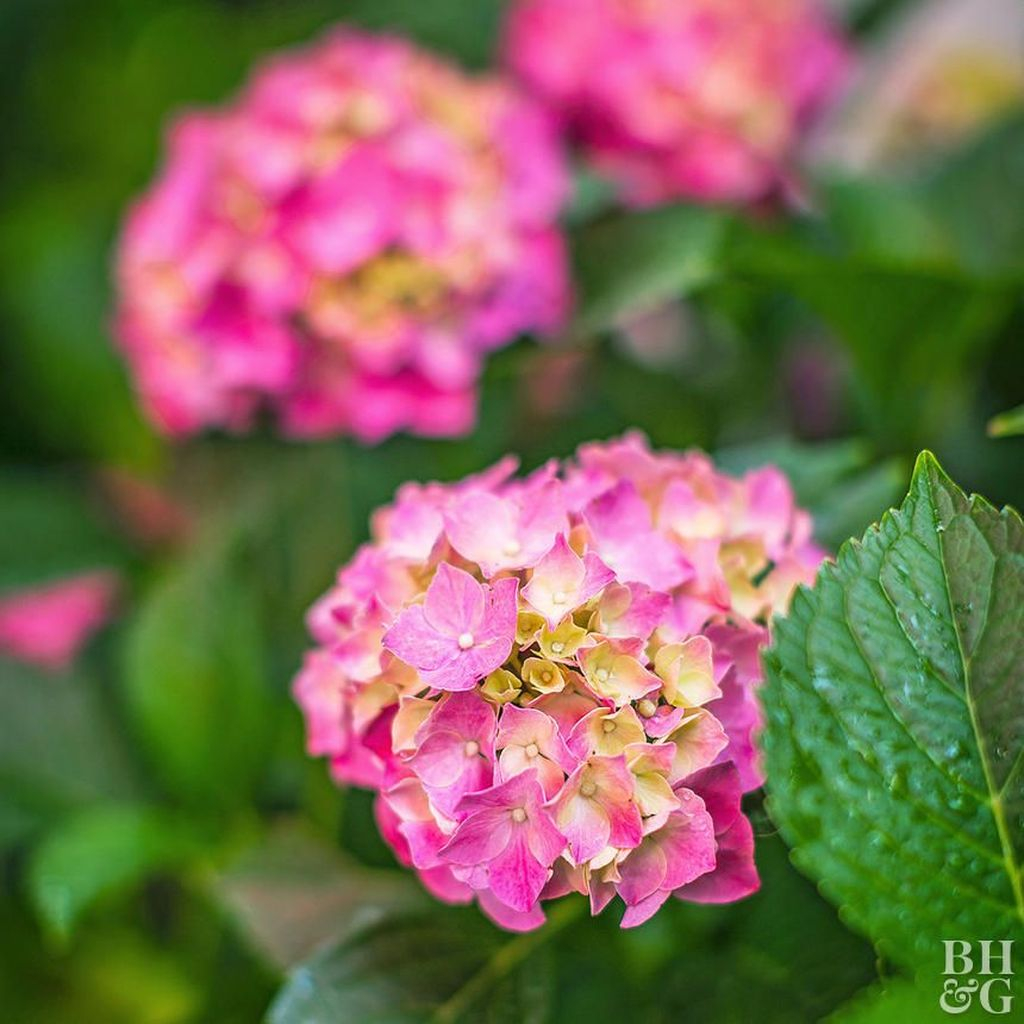 Inspiring Hydrangeas Landscaping Design Ideas To Copy Right Now 01