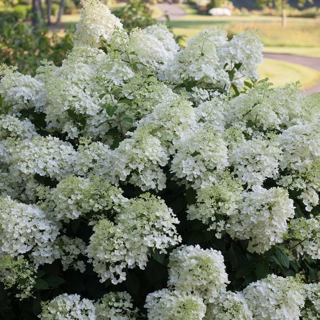 Inspiring Hydrangeas Landscaping Design Ideas To Copy Right Now 02