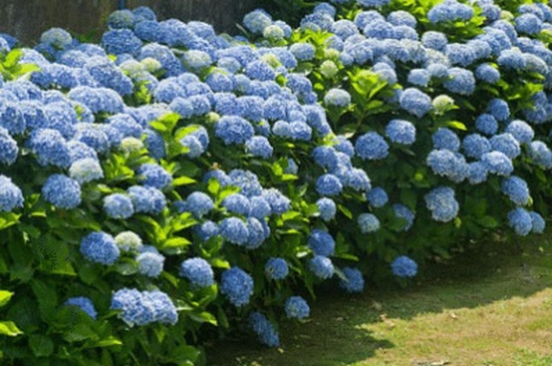 Inspiring Hydrangeas Landscaping Design Ideas To Copy Right Now 19