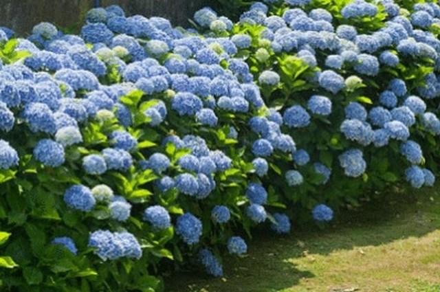 Inspiring Hydrangeas Landscaping Design Ideas To Copy Right Now 19