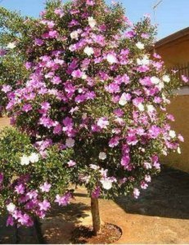 Lovely Flowering Tree Ideas For Home Yard To Copy Now 03