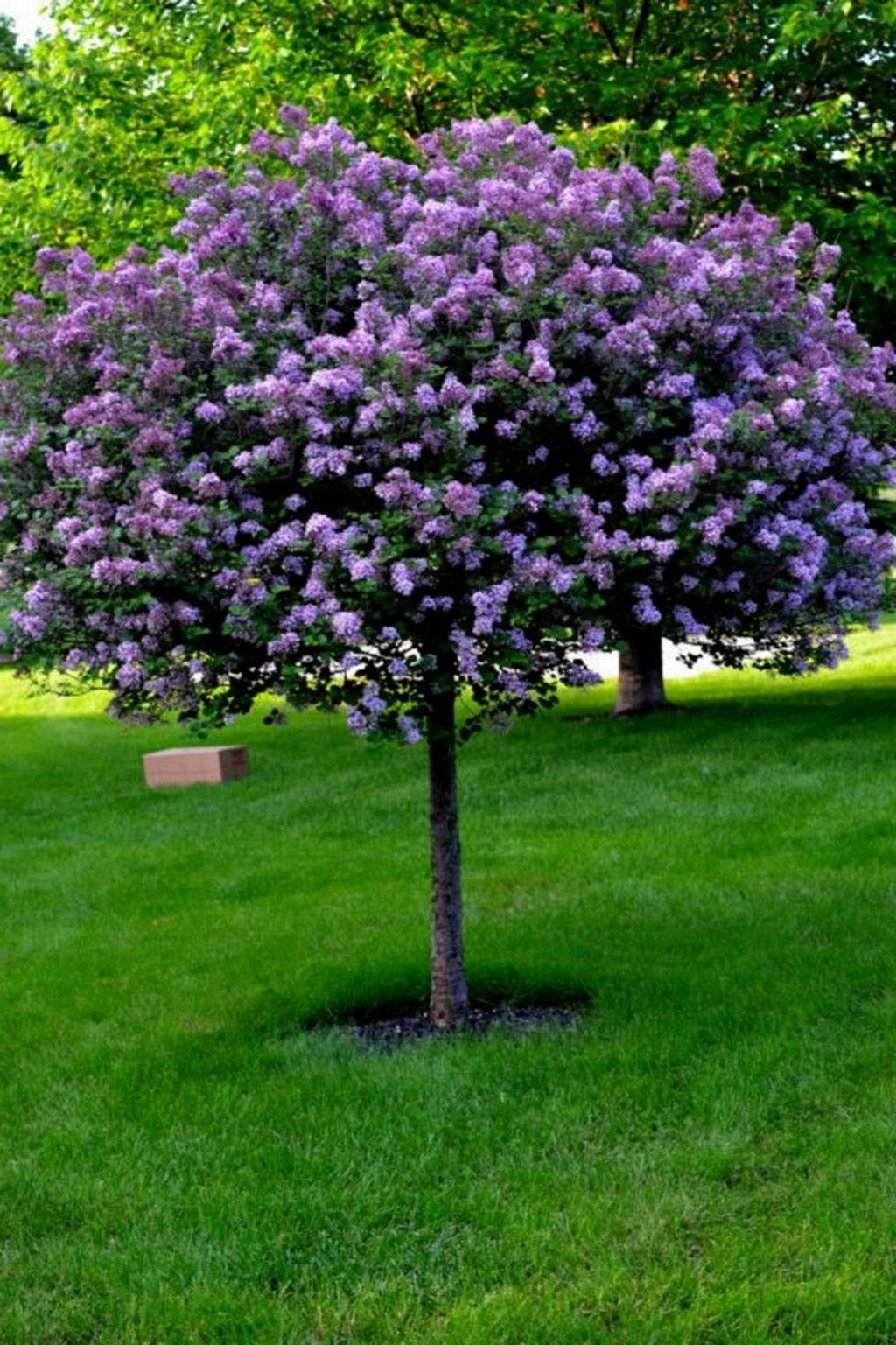 Lovely Flowering Tree Ideas For Home Yard To Copy Now 19