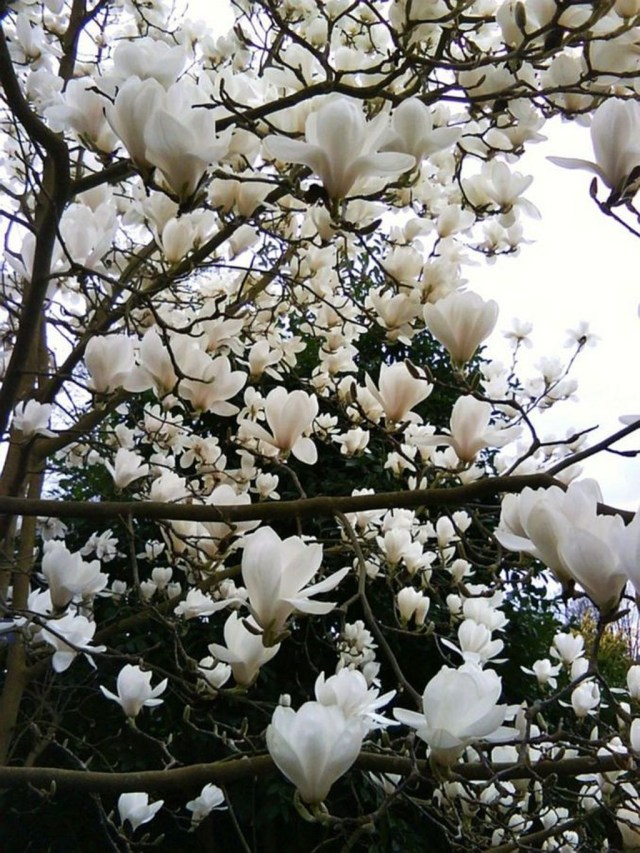Lovely Flowering Tree Ideas For Home Yard To Copy Now 20